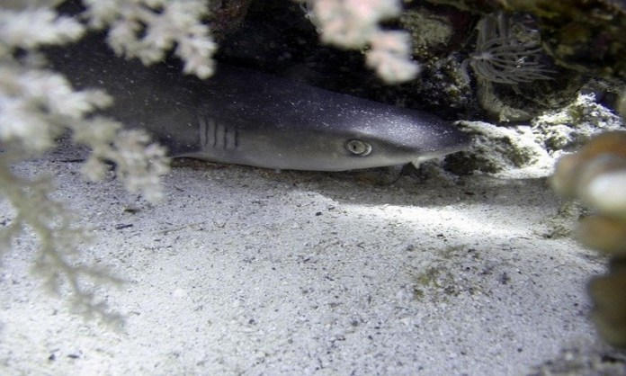 White-tip Reef shark hiding under rocks for protection, these sharks can be found in Costa Rica