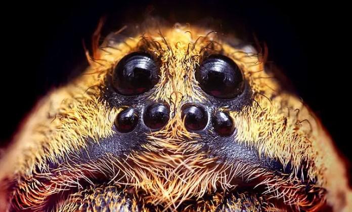Wolfspider's eyes