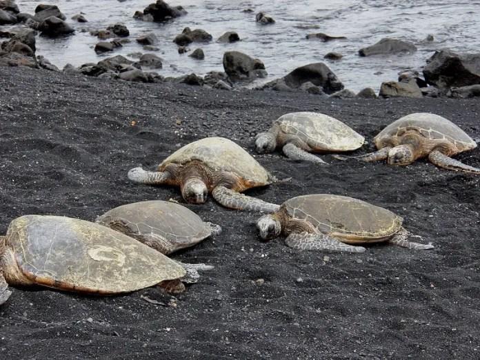 green sea turtles hawaii black sand beach