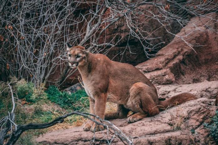Mountain Lion sitting on rocks