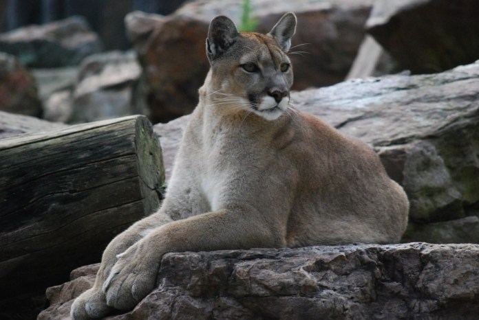 Mountain Lion - one of Colorado's dangerous animals - on rocks