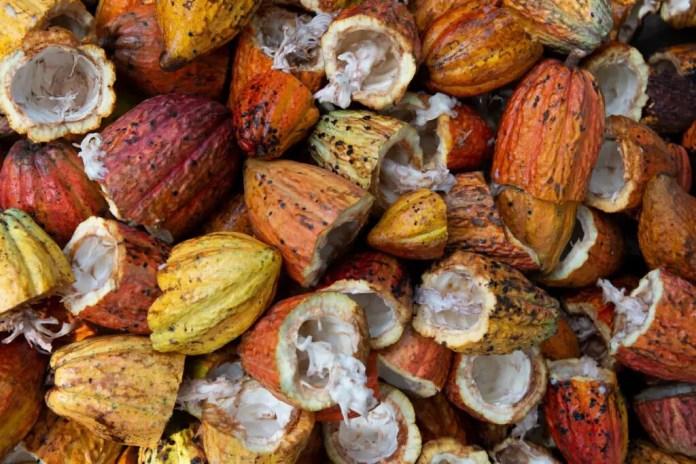 Pulpy cacao pods