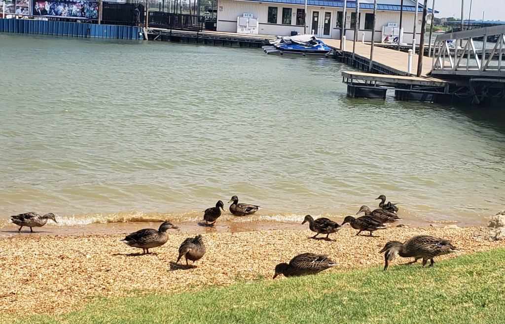 ducks on a rocky beach, lake waters and the marina