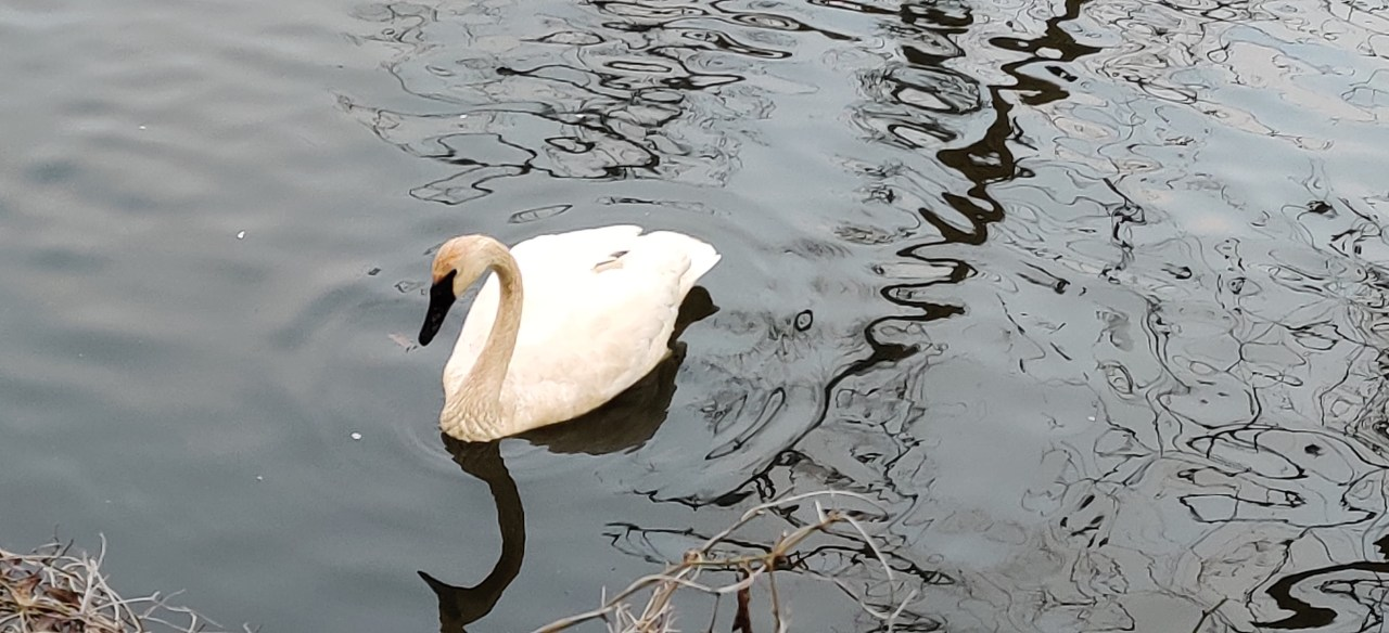 A snowy-white, lonely trumpeter swan