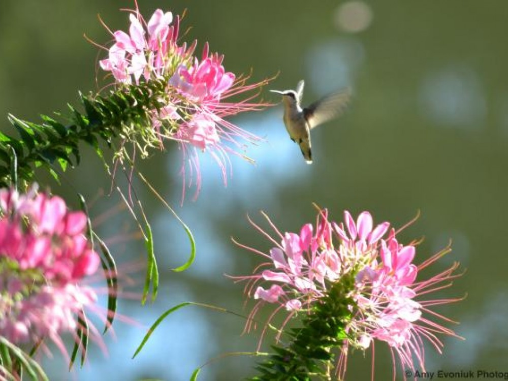 hummingbird on cleome