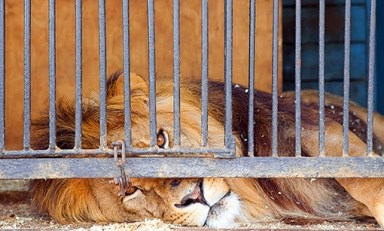 lion-in-cage