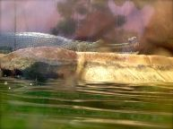 Wow! Indian Gharial!