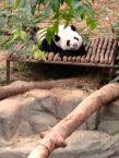 Wow! Panda!