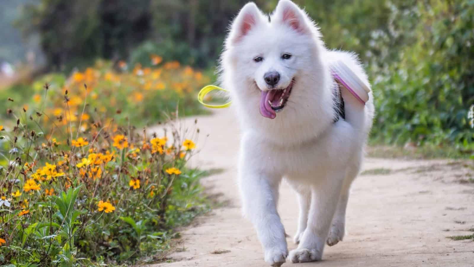 Get A White Dog