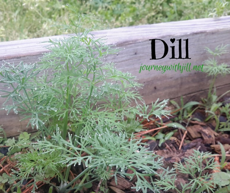 Dill - Favorite herbs | Journey with Jill
