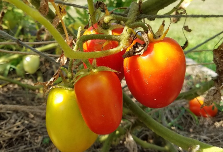 Healthy tomatoes after cutting off yellow leaves caused by early blight | Journey with Jill