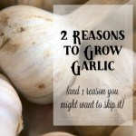 2 Reasons to Grow Garlic (and 1 Reason Not To)