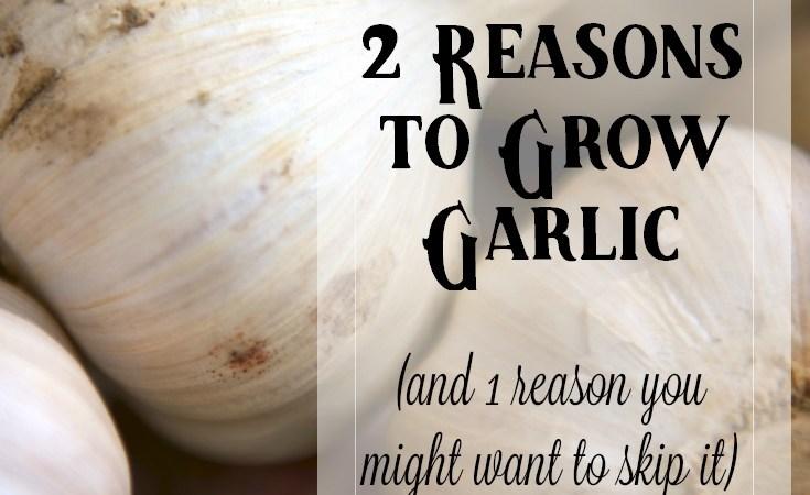 2 Reasons to Grow Garlic (and 1 Reason Not To)