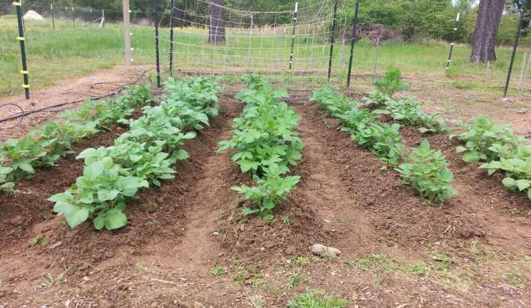 Yes! Even a Beginner Can Grow Potatoes! {The Beginner's Garden Podcast}