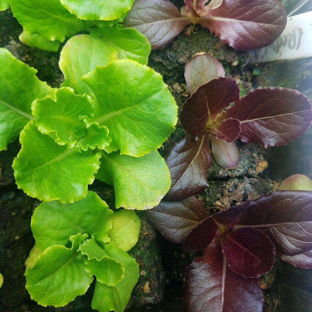 lettuce seedlings planted indoors