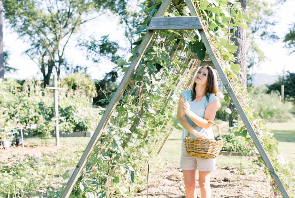 gardener picking beans from a-frame trellis
