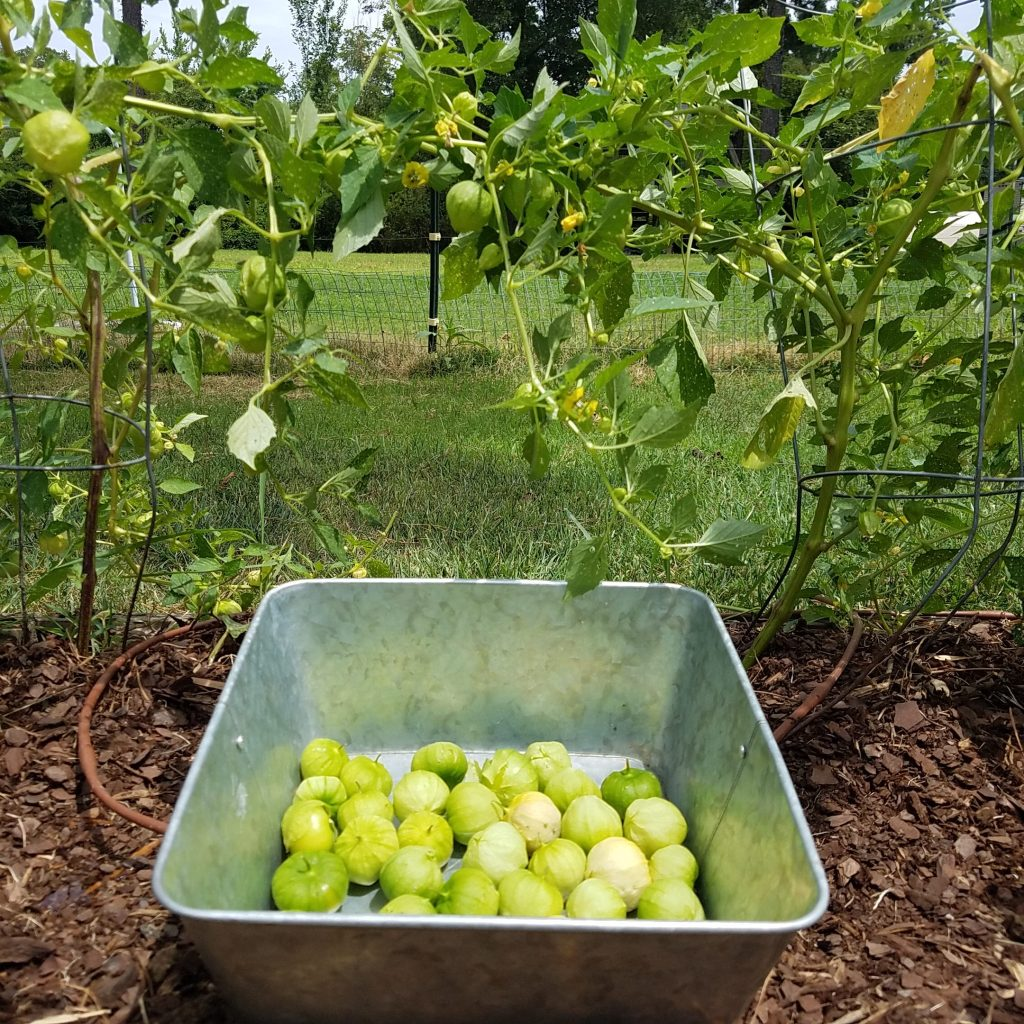 tomatillo harvest