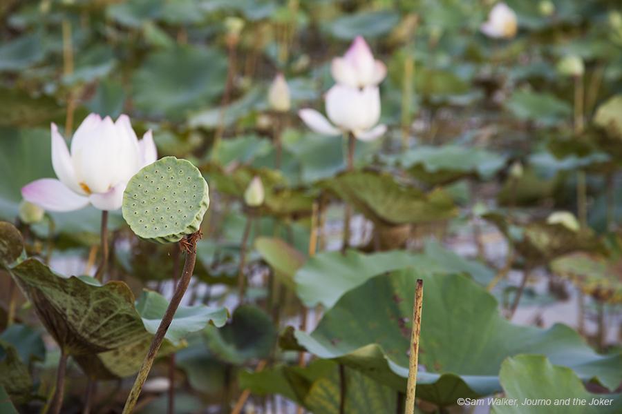 Lotus_1749