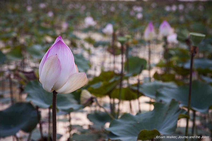lotus_1799
