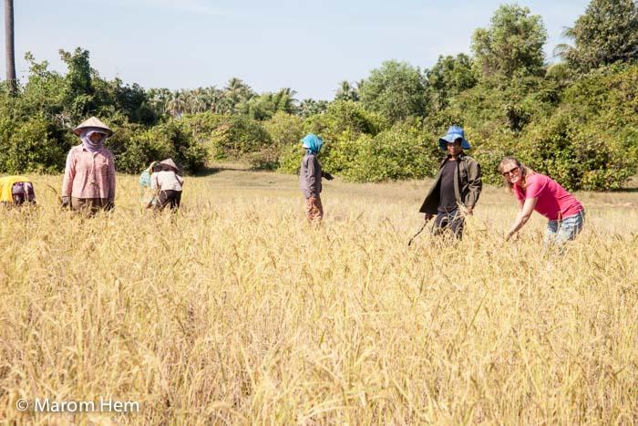 Sam harvesting rice