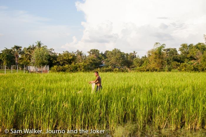 Fishing in rice field