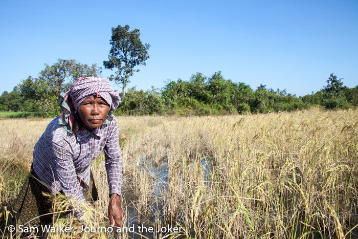 Lady harvesting rice in Cambodian rice field