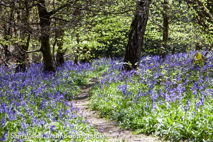 Bluebells in Banstead Woods, Surrey