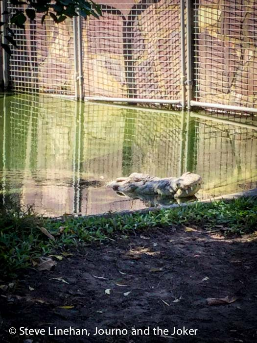 Crocodile, Corroboree Park Inn