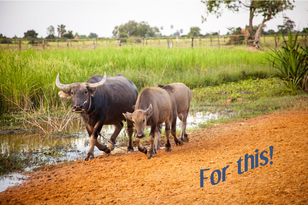 water buffalo - in search of more