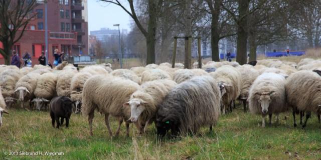 Stadskudde schapen-1719