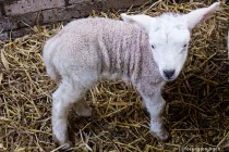 natuur-dieren-schapen-noorderhoogebrug 2013-12