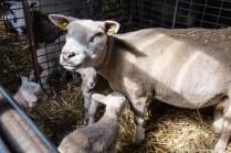natuur-dieren-schapen-noorderhoogebrug 2013-14