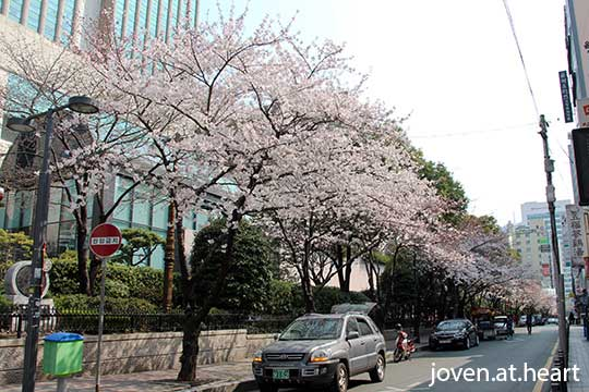 Cherry Blossoms @ Busan