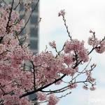 Cherry Blossoms @ Hangang Park, Yeouido