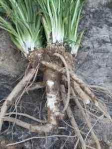 horseradish_fresh_harvest
