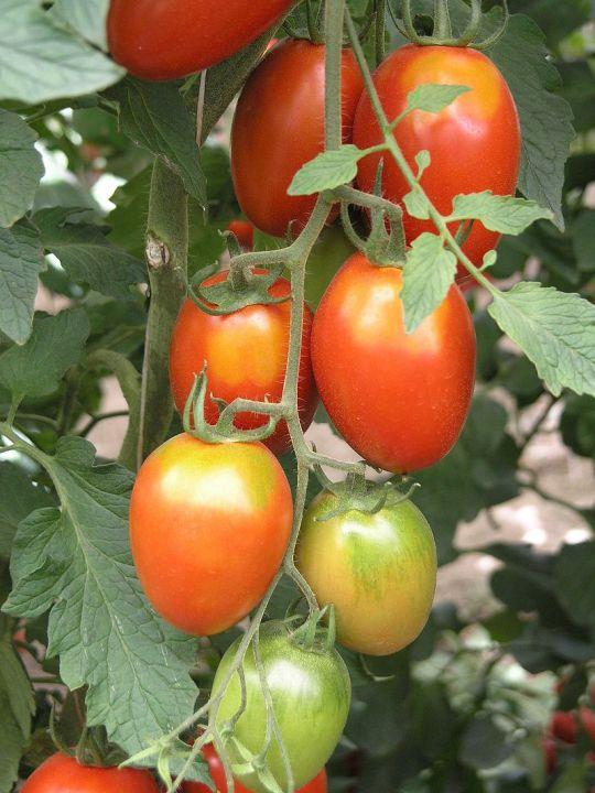 naplestomatoes