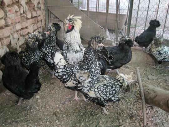 paduanchickens