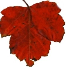 Red Leaf (StockExchange.com)