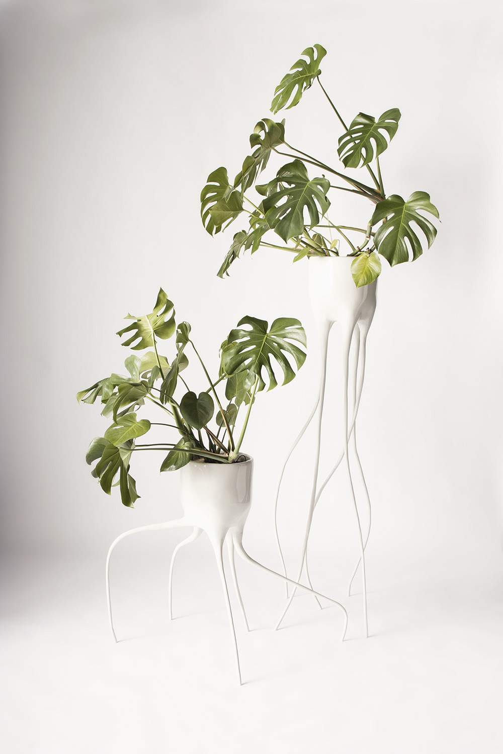 Monstera_Magnifica&Fugiens