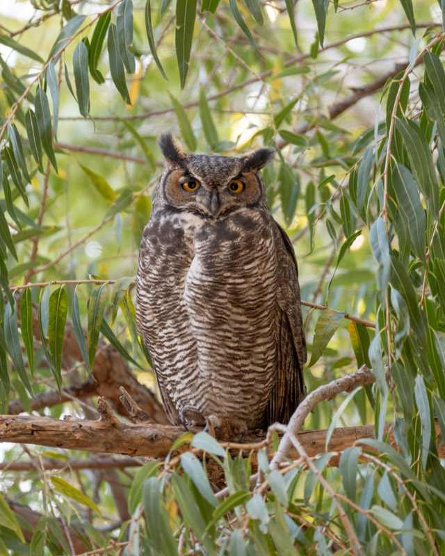 Dan Weisz A Great Horned Owl at rest one morning in Tucson