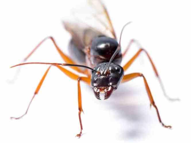 Kill Carpenter Ants Images