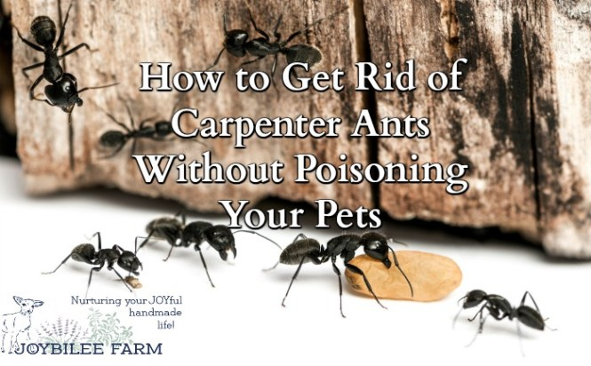 Use Borax Mixture Fire Ants