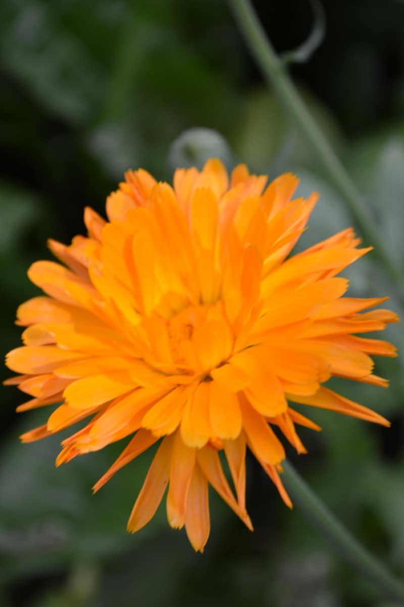 5 ways to preserve and use calendula flowers  Joybilee