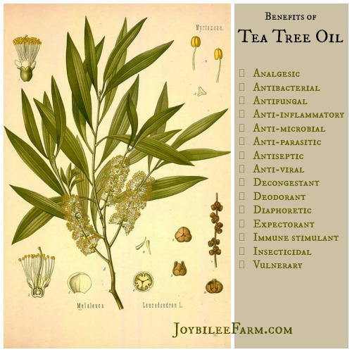 Image Result For Where Can I Buy Tea Tree Essential Oil