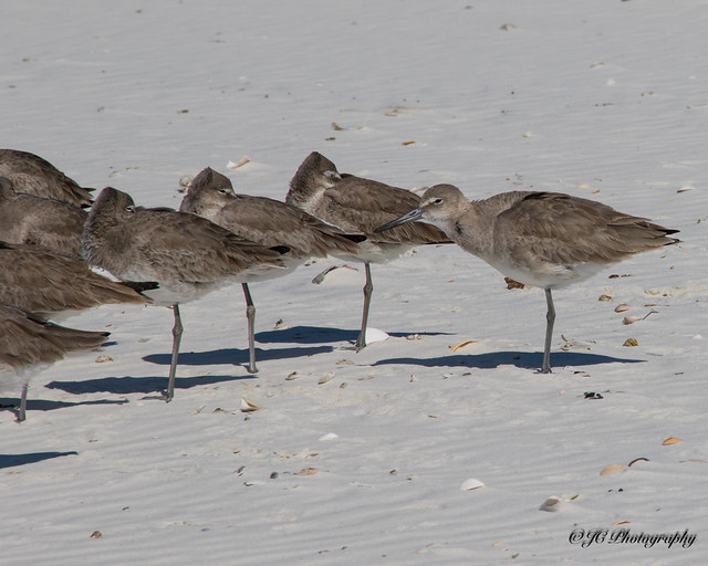 Willets napping