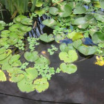 Water lettuce and lilies