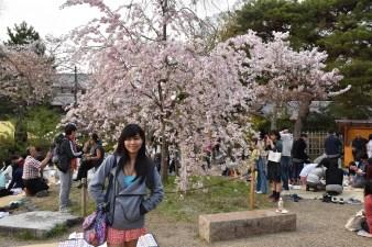Weeping sakura