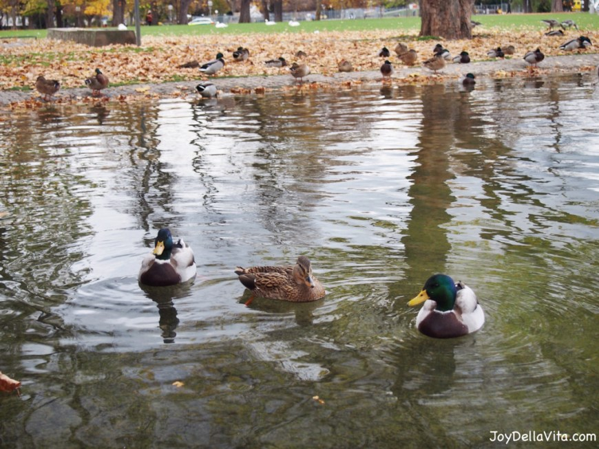 Ducks swimming at Eckensee