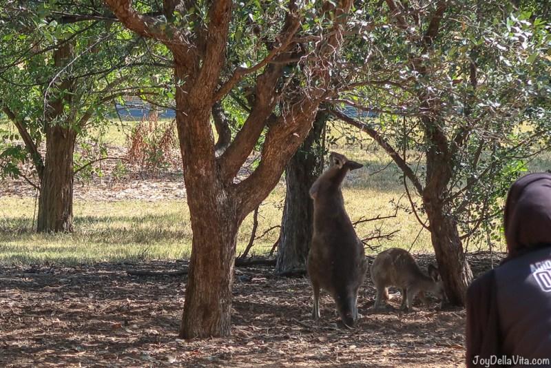 Kangaroos in Canberra Travelblog JoyDellaVita