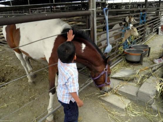 papi petting horse